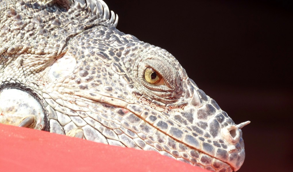 Green spiny-tailed iguana