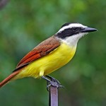 Great Kiskadee Facts