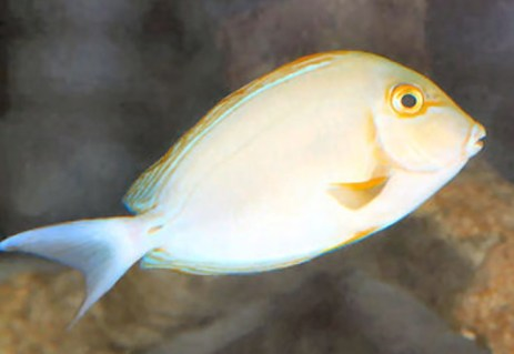 Yellowfin Surgeonfish