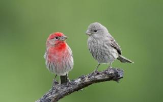 house-finches-male-female