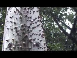 Kapok woody thorns on trunk