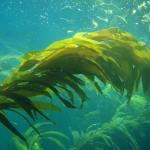 What Is Seaweed and What Is It Used For?