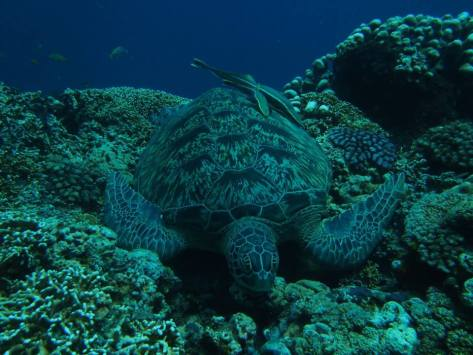 scuba diving with green turtle in the gili islands Indonesia