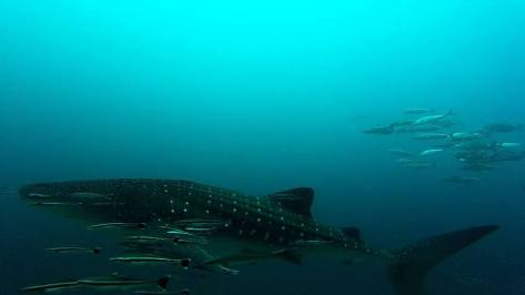 Whale shark at richelieu rock in Thailand