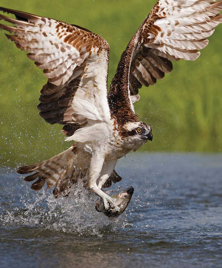The Osprey theyre bone breakers alright