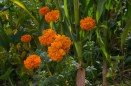 Traditional orange marigolds