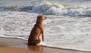 Dog sitting in the afternoon sun on a beach at the edge of the water looking at the sea