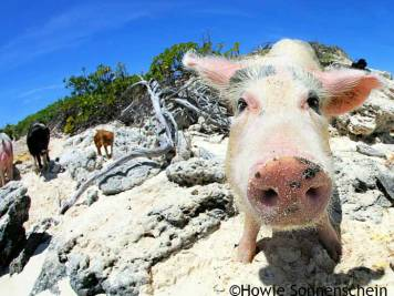 Happy pig with its snout in front of the camera on Exuma Islands