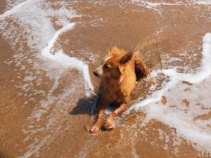 Brown long-haired stray dog lying in the shallow sea water in the afternoon sun
