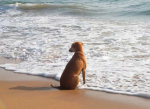 Brown beach dog sitting on the beach in the water edge with foamy sea water spilling in over its paws