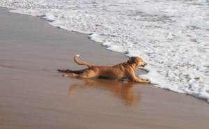 Dog lying flat on its stomach with all four legs stretched out on the beach, while the foamy sea water spills in