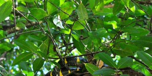 Mangrove snake lying on a branch