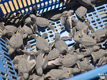 Basket full of hatched green baby turtles from Selingan Island, Borneo. Photo by Beachmeter.com