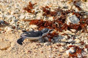 Baby green turtle on a beach with corals and seaweed on Selingan Island in Malaysian Borneo. Photo by Beachmeter.com.