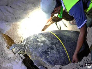 Egg-laying green turtle being measured by a wildlife researcher in Borneo. Photo by Beachmeter.com.