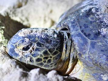 Close-up of the head and neck of an egg-laying green turtle on Selingan Island in Malaysian Borneo. Photo by Beachmeter.com.