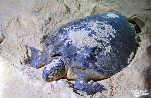 Big turtle laying eggs in the sand on a beach in Malaysia. Photo by Beachmeter.com.