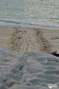Turtle tracks in the sand leading to the sea. Photo by Beachmeter.com.