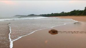 Mother turtle heading to see after laying eggs at Cape Three Points Ghana
