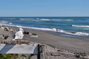 seagull overlooking a beach in New Zealand