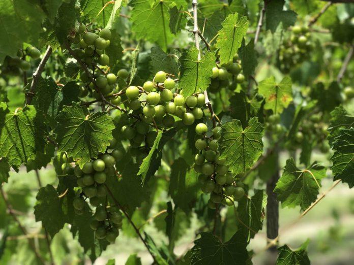 2021 muscadine picking season arrives at Spring Garden Vineyard!