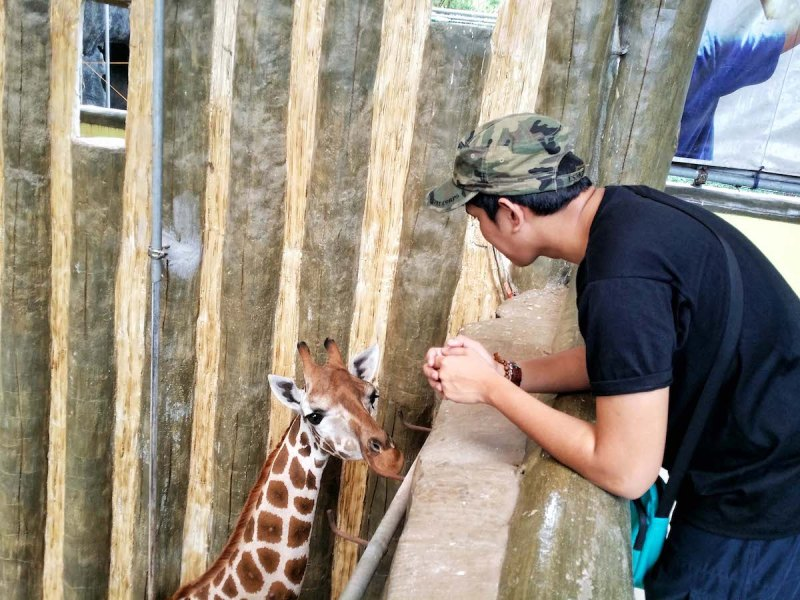a guy looking over a giraffe in avilon zoo