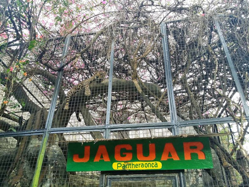 a jaguar on top of a tree in avilon zoo