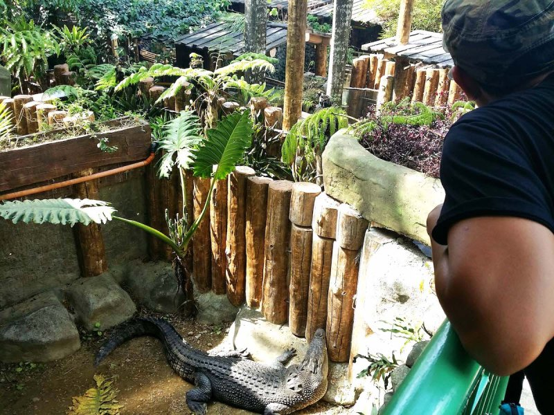 a guy looking over the railing with a adult crocodile below in avilon zoo