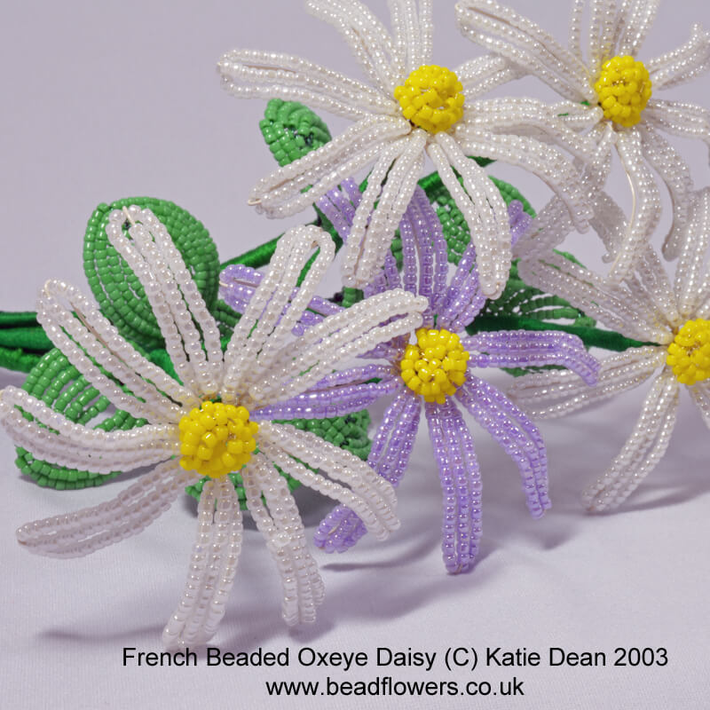 French beaded oxeye daisy