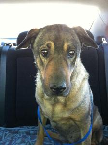Adopt MeMe - 6 year old German Shepherd dog
