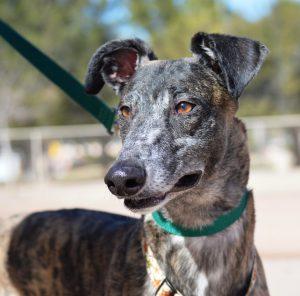Southern Arizona Greyhound Adoption