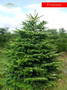 Nordmann (Non Drop) Premium Fir 7-8ft