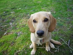 beagle lab mix breed