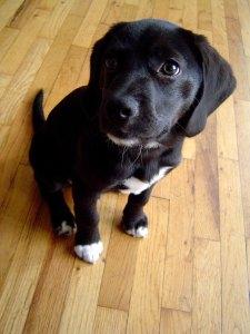 beagle lab mix dogs