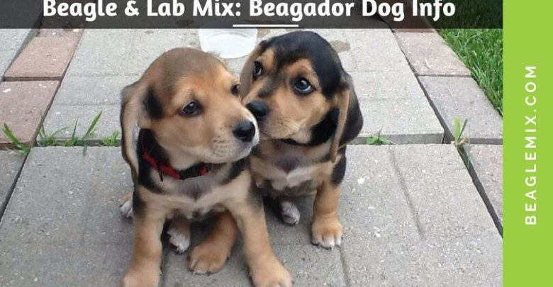 beaglelabmix