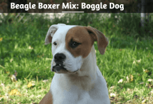 Beagle Boxer Mix- Boggle Dog