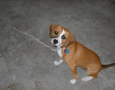 Beagle Boxer Mix Boggle dog