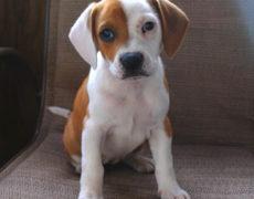 Boggle Dog Puppy
