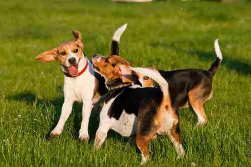 Beagle Home