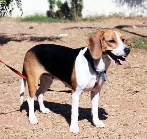 Beagle Heat Cycle