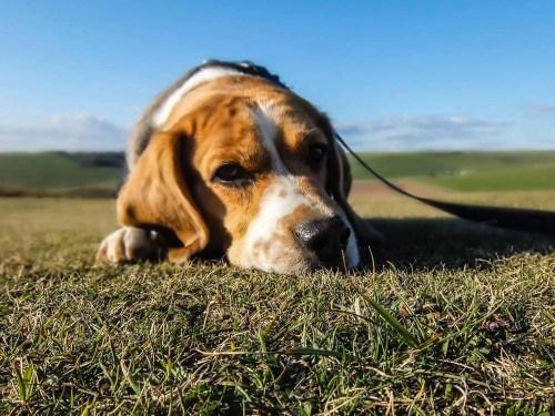 Beagle Motion Sicknness
