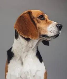 Beagle Ears Stink