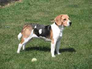 Beagle Life Expectancy