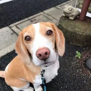 Lemon Beagle