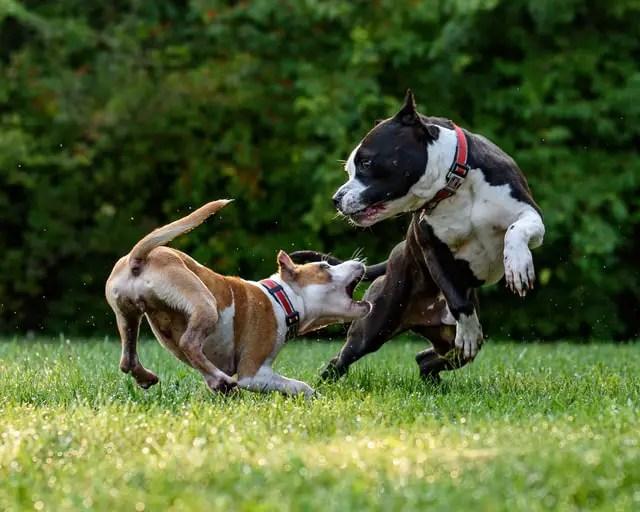 Beagle Aggression