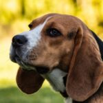 clicker training beagles