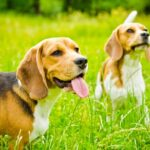 Beagles as Pets