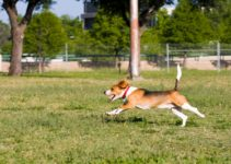 Beagle Running – Everything You Need to Know