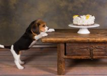 Is Your Beagle Stealing Food? This is How to Stop It