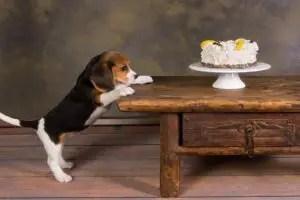 beagle stealing